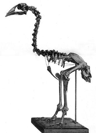 Adzebill - Skeleton of A. otidiformis, Canterbury Museum