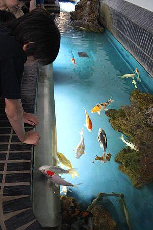 Aquarium Berlin - Nishiki Goi koi carps