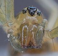 Araña de saco amarillo (Cheiracanthium punctorium), Hartelholz, Múnich, Alemania, 2020-06-27, DD 112-118 FS.jpg