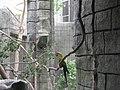 Ara rubrogenys -Tulsa Zoo-6a.jpg
