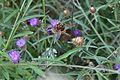 Araignées, insectes et fleurs de la forêt de Moulière (Les Agobis) (28398479774).jpg