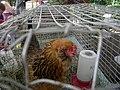 Araucana chicken 01.jpg