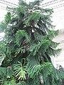 Araucaria heterophylla 20 by Line1.JPG