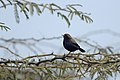 Aravalli BiodivPark Gurgaon DSC9065 Indian robin.jpg