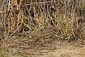 Aravalli BiodivPark Gurgaon DSC9092 lb pipit.jpg