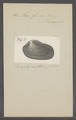 Arca fusca - - Print - Iconographia Zoologica - Special Collections University of Amsterdam - UBAINV0274 076 04 0012.tif