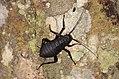 Archiblatta beccarii (24881073509).jpg
