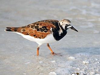 Turnstone - Ruddy turnstone in breeding plumage.