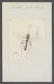 Arenetra - Print - Iconographia Zoologica - Special Collections University of Amsterdam - UBAINV0274 046 03 0084.tif