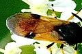 Arge.melanochroa9.-.lindsey.jpg