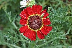 Argyranthemum cultivar Lalbagh.jpg