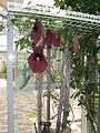 Aristolochia gigantea7.jpg
