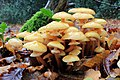 Armillaria mellea, Honey Fungus, UK 2.jpg