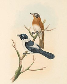 Arses telescophthalmus - The Birds of New Guinea (cropped).jpg