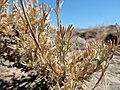 Artemisia arbuscula (28442598152).jpg