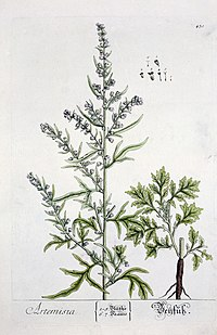 Artemisia from Blackwell's Herbarium Wellcome L0017766.jpg