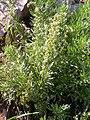 Artemisia michauxiana (5042592898).jpg