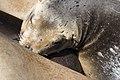 Artis California sea lion (35436669353).jpg