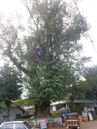 Arukizhaya, Manjeri - Bunyan tree at Arukizhaya