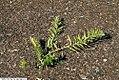 Asclepias tuberosa Hello Yellow 2zz.jpg