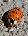Asian Lady Beetle (Harmonia axyridis) - Kitchener, Ontario.jpg