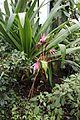 Asparagales - Crinum x amabile - 1.jpg