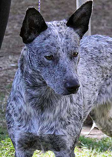 Australian Cattle Dog Kennels California