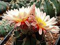 Astrophytum flower 340.jpg