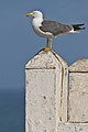 Atlantic Yellow-legged Gull (4990031056).jpg