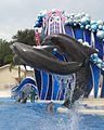 Atlantic bottlenose dolphins at Sea World Orlando in 2007.jpg
