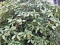 Aucuba japonica 'crotonifolia' 01.jpg