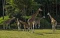 Australia Zoo Giraffes (17531842034).jpg
