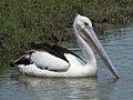 Australian Pelican RWD2.jpg