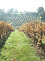 Autumn at Denbies Vineyard - geograph.org.uk - 272936.jpg