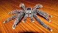Avicularia geroldi - male - Image 4.JPG