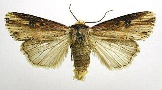 Flame (moth) - Mounted