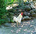 Ayam walik.jpg