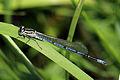 Azure damselfly (Coenagrion puella) male juvenile.jpg