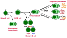 B cells develop and mature in the