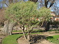 Baccharis halimifolia - Jardin des Plantes de Paris.JPG