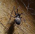 Badumna species. Desidae - Flickr - gailhampshire.jpg