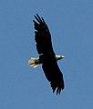 Bald Eagle (7414409124).jpg