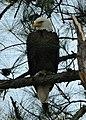 Bald eagle at Eastern Neck National Wildlife Refuge (34280806021).jpg