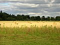 Bales and Sunflowers - geograph.org.uk - 234972.jpg