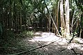 Bamboo forest, Lake Conestee Nature Park, June 2019.jpg