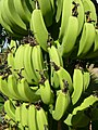 Bananas - panoramio - georama.jpg