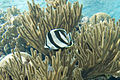 Banded butterflyfish Chaetodon striatus (2442373151).jpg
