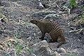 Banded mongoose, Tarangire National Park (6) (28679508515).jpg