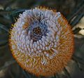 Banksia Prionotes flower from top.jpg