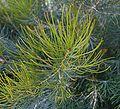 Banksia grossa foliage.jpg
